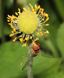 Hoverly hanging upright on a flower  Stock Photo