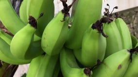 How bananas grow, bananas hang on a palm tree. See how bananas grow, bananas hang on a palm tree, green bananas / platano. Dominican Republic stock video footage