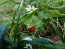 Summer wild strawberry in the forest stock photos