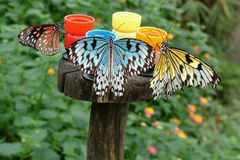 How Butterflies Really Get Their Colors. A whimsical look at how butterflies really get their colors. As they drink, it seeps into their wings. Photograph with a stock photography