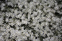 Beautiful background of white flowers Royalty Free Stock Images