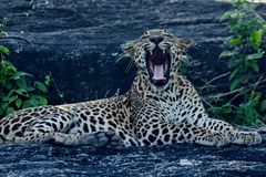How do you like this ?. This  Leopard was oblivious to the outside world and gave this display  in  Yala national park in Sri Lanka Royalty Free Stock Photo