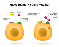 How does insulin work. Insulin regulates the metabolism and is the key that unlocks the cell's glucose channel Stock Photos