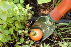 How Does Your Garden Grow. A tomato fallen from the vine ripens at the foot of a small shovel in the garden path Royalty Free Stock Image