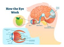 How eye work medical illustration, eye - brain diagram. Eye structure and connection with brains. Vector EPS10 royalty free illustration