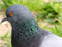 How I look? 2. Head of the pigeon Royalty Free Stock Images