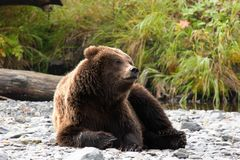 How lazy can I be?. Young grizzly bear resting on a riverbank Stock Photos