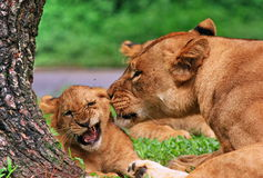 How the lion loves its baby. It is a rare moment between a baby of lion and its mom. Even wild animals they know the love the passionate and the communication stock photo