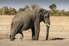 How many legs does the elephant have?. In the Hwange National Park, in Zimbabwe, this great male elephant has just come out of the bathroom and it is seen that stock photo