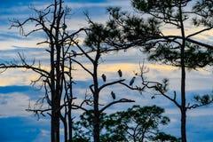 How Many Wood Storks? stock photos