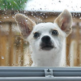 How much is that doggy in the window. Puppy looking through door window in the rain Royalty Free Stock Images