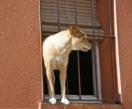 How much is that doggy, in the window... Royalty Free Stock Photos