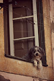 How Much is that Doggy in the Window? Royalty Free Stock Images