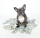 How Much is a Puppy Worth? Royalty Free Stock Image