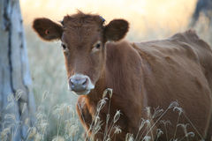 How Now Brown Cow. Calf in wooded field, with waist-high grasses, back-lit by setting sunlight, Australia Stock Photos
