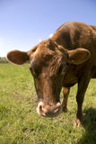 How Now, Brown Cow?. Healthy young brown cow looks you in the eye Royalty Free Stock Photography