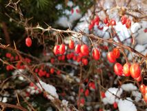Barberries in the snow. How often can view such an image? Berries covered by snow Stock Photography