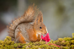 How squirrels knit Royalty Free Stock Photos