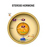 How steroid hormones work. Royalty Free Stock Image