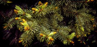 How to bloom spruce? And there is this mystery in the deep forest in late spring. How bloom spruce however fact can many not know there mystery deep forest late stock photo