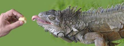 How to feed iguana? Royalty Free Stock Photo