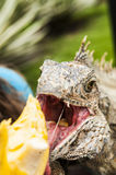 How to feed iguana royalty free stock images
