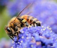 How To Get A Buzz!!. A macro of a bee on a flower Stock Photo