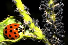 Ladybugs and Aphids, how to get rid of garden and greenhouse pests with lady beetles in Organic methods. How to get rid of green flies or green lice in garden Royalty Free Stock Image