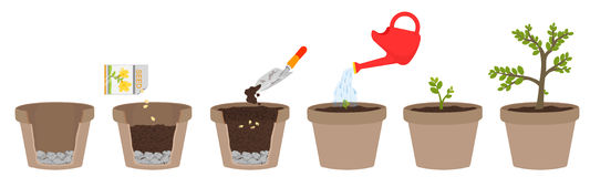 How to grow plants. Easy step by step for kids Stock Image
