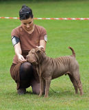 How to handle a sharpei. Young handler girl keeps a sharpei puppy dog in show stack Royalty Free Stock Photography