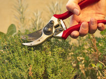 How to harvest thyme. Photo shows a hand holding a secateurs and cutting thyme branches Royalty Free Stock Photos
