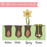How to plant the daffodils. Time line of narcissus life. Spring flower bulb. Timeline - how to growing daffodils. Steps of plant growth. Timeline infographic Stock Photo
