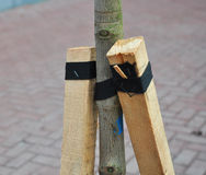 How to Plant a Tree Correctly with Two Stakes. Planting Trees in Autumn. Stock Photography