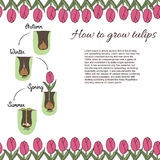 How to plant tulips. Time line - how to growing tulips. Steps of plant growth. Time line info graphic design. Hand drawn vector illustration about instruction Stock Photos
