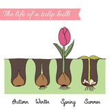 How to plant tulips. Timeline - how to growing tulips. Steps of plant growth. Timeline infographic design. Hand drawn vector illustration about flower year Stock Images