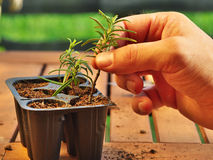 How to propagate rosemary. Photo shows a hand holding a clipping (with fresh new roots) of rosemary before potting Stock Photo