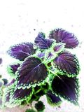 How to use coleus plant to desire stock illustration
