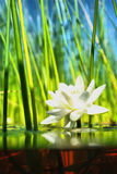 How   the water-lily grow. How the water-lily grows , a picture of a surface and underwater part Royalty Free Stock Photos