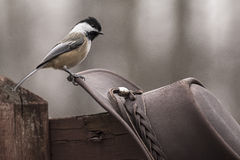 Howdy Chickadee Royalty Free Stock Images