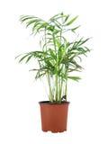 Howea Forsteriana (Kentia) Royalty Free Stock Photo