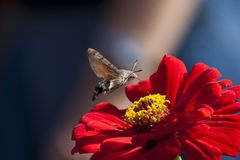 Hower over the flower. Bee-hawk month (Hemaris fuciformis) over the flover in Nikitskiy botanical garden near Yalta Royalty Free Stock Photography