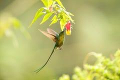 howering在黄色和橙色花,与被伸出的翼的哥伦比亚蜂鸟,蜂鸟旁边的紫罗兰色被盯梢的空气的精灵吮ne 图库摄影