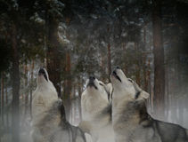 Howl at the moon threesome fun. Dreary howl in the dark forest Stock Photo