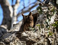 Owl resting at daylight, Kirindy Forest, Morondava, Madagascar. Kirindy Forest or Kirindy Private Reserve is a private park situated in the western Madagascar Royalty Free Stock Photos