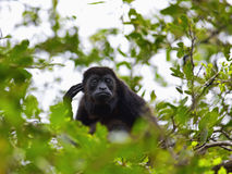 A Howler monkey Stock Photos
