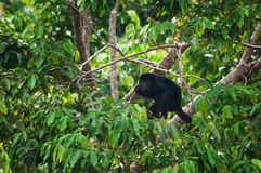 Howler Monkey. A Howler Monkey Climbing in a Tree royalty free stock images