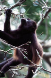 Howler Monkey. Feeding royalty free stock images