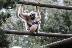 Howler Monkey with baby Stock Photography
