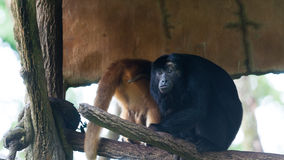 Howler Monkey Royalty Free Stock Photo