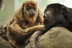 Howler monkey and brood. A female howler monkey and brood looking loving on her mate as he howls royalty free stock photo